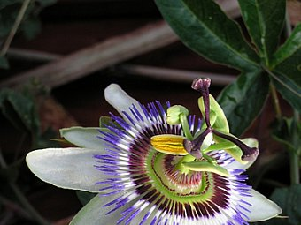 floare Passiflora caerulea