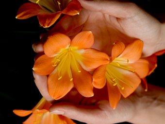 Floare care ramane inflorita iarna - Clivia miniata