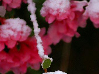 Trandafirul muntilor - Azaleea
