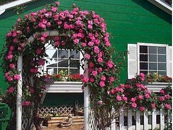 Trandafirii cataratori, spectacole coloristice