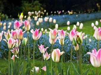 Lalele bicolore roz si alb