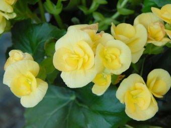 Begonii galbene - Decorative prin flori, dar si prin frunze