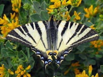 Fluture si coada randunicii