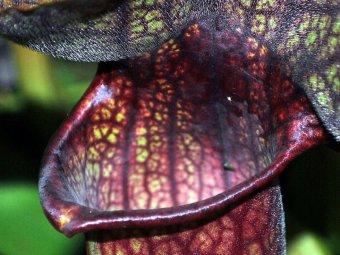 Planta carnivora Sarracenia