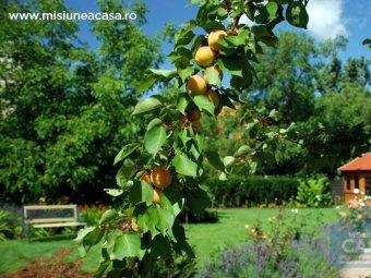 Pom fructifer in gradina