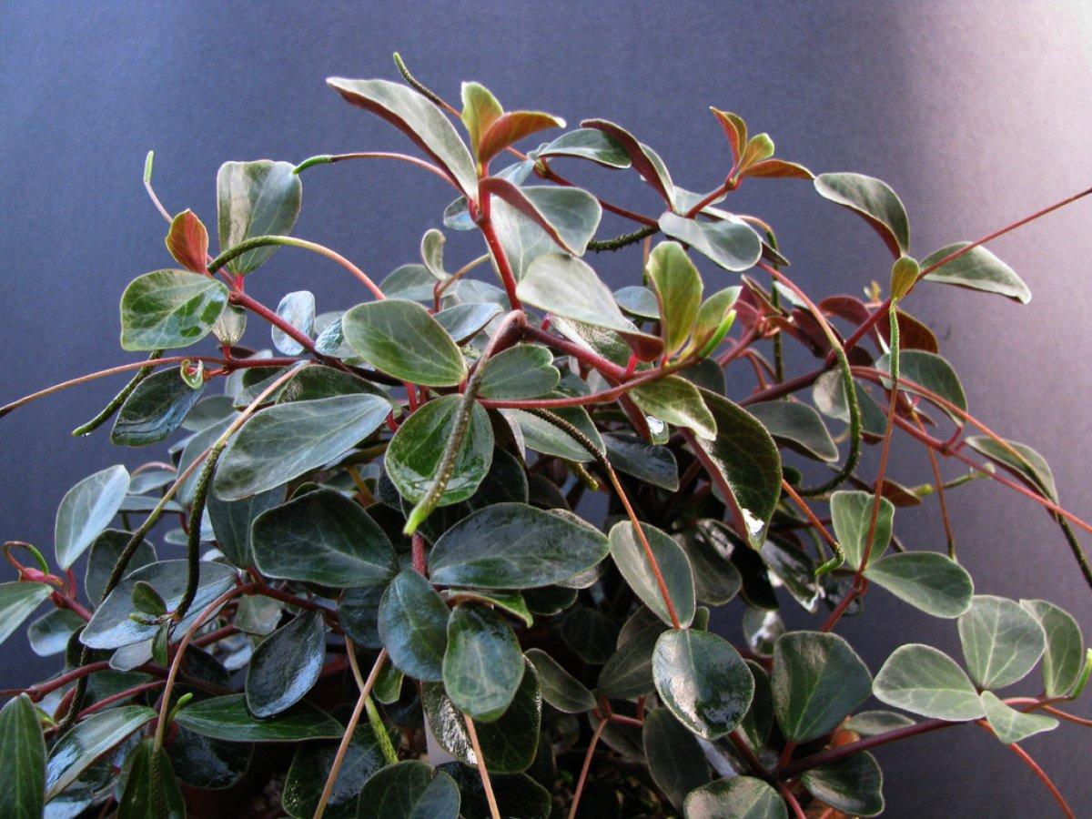 Plante de interior peperomia o planta ideala pentru un for Plante de interior