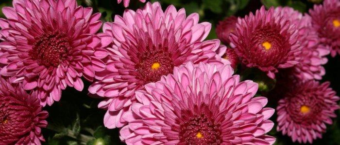 Care sunt florile de gradina care infloresc toamna