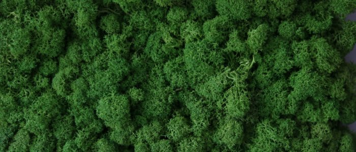 Ce sunt lichenii stabilizati si ce eforturi presupun amenajarile interioare cu acestia