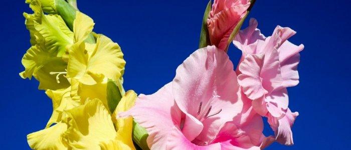 Gladiola, planta invingatorilor: sfaturi de plantare si ingrijire