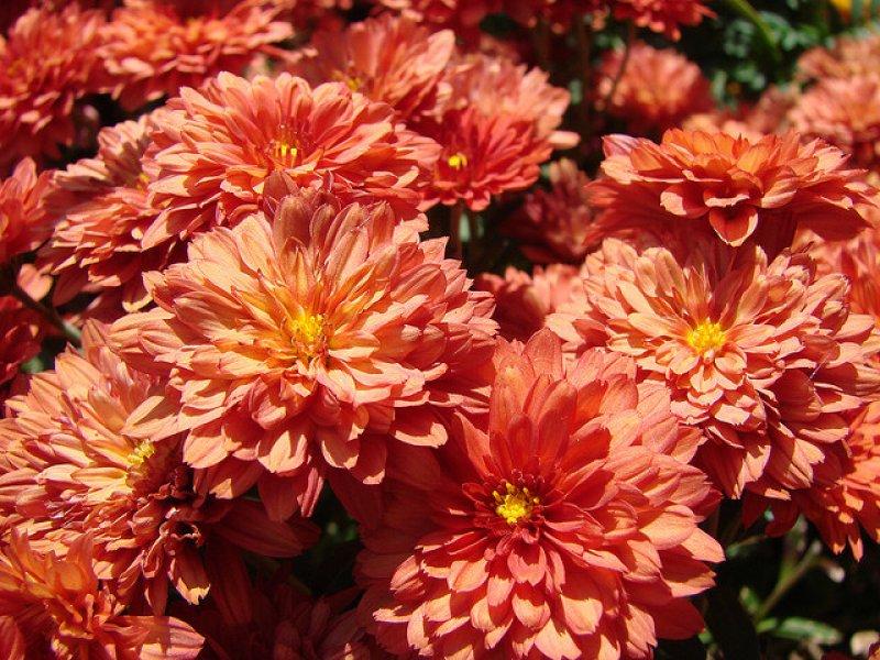 Crisanteme