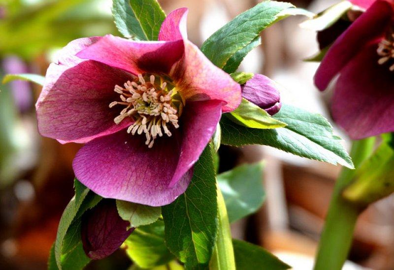 Floare da spanz