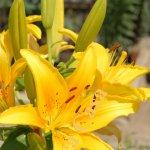 Crinul (lilium) (II)