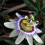 Floarea comestibila de la fereastra