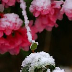 Trandafirul muntilor in casa ta