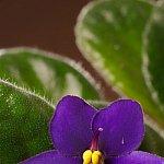 Violeta africana - protejata oficial in toata lumea