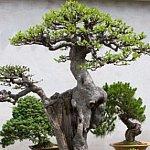 Sunteti pregatiti pentru bonsai?