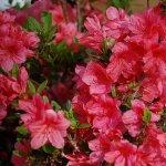Arbusti vedeta – Azaleea. Un arbust incantator si usor de ingrijit