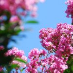 Arbusti vedeta - Lagerstroemia indica