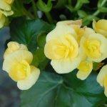 Begonia, una din cele mai indragite plante