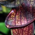 Fascinatia plantelor carnivore: Sarracenia