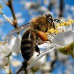 Flori care atrag albinele - 8 plante care hranesc albinele