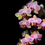 Orhideea – etalonul elegantei in lumea plantelor