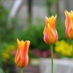 Plantarea lalelelor - Ghid de plantare, crestere si ingrijire a lalelelor in 5 pasi