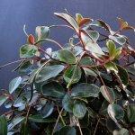 Plante de interior - Peperomia, o planta ideala pentru un interior modern