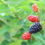 5 arbusti fructiferi care n-ar trebui sa lipseasca din gradina ta