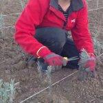 Amenajarea de toamna a gradinii (II) – Sfaturi de plantare a lavandei de la profesionisti
