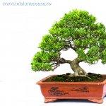 Ce trebuie sa stii despre ingrijirea bonsaiului
