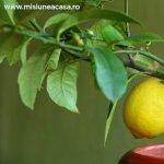 Cum plantezi si ingrijesti lamaii ca arbusti de interior
