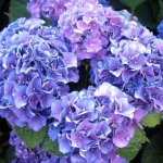 Cum schimbi culoarea hortensiilor
