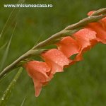 Ingrijirea gladiolelor – boli si daunatori