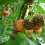 Monilioza - Cum se manifesta aceasta boala a pomilor fructiferi si cum poate fi combatuta