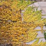 Plante cataratoare pentru o gradina de vis