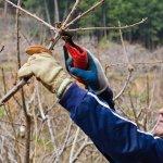 Primele lucrari in livada - Cum putem obtine roade la putin timp dupa plantarea unui pom fructifer