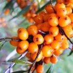 Sfaturi de plantare a arbustilor de catina