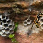 Viespile - cand sunt benefice si cand sunt daunatoare