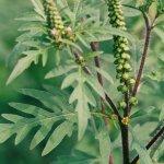 Ambrozia, bomba cu alergii de pe terenurile neamenajate