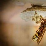 Cum scapam de viespi?