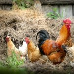 Paduchii de gaina: 5 solutii de combatere propuse de cititorii nostri