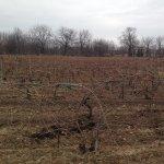Taierea vitei de vie - Lucrari de sezon in viticultura – Partea I