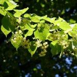 Teiul, arborele-minune: sfaturi de ingrijire