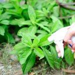 Zeama bordeleza: de ce este importanta pentru plante si cum se prepara