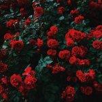 Ce trebuie sa stii despre trandafirii cataratori