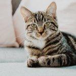 Confortul pisicii de apartament