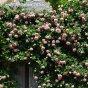 Trandafirii cataratori – cum ii plantezi, ingrijesti si inmultesti